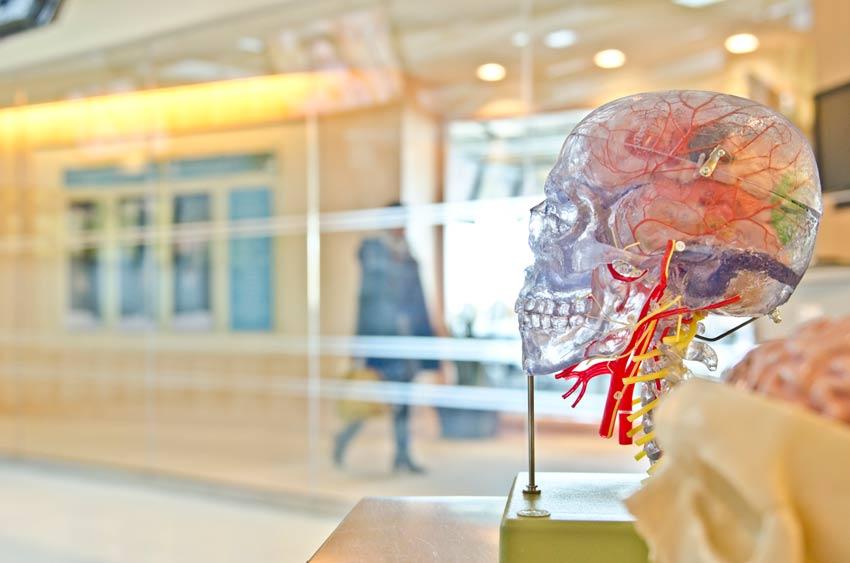 Reproducción en plástico de un cráneo humano con su cerebro.